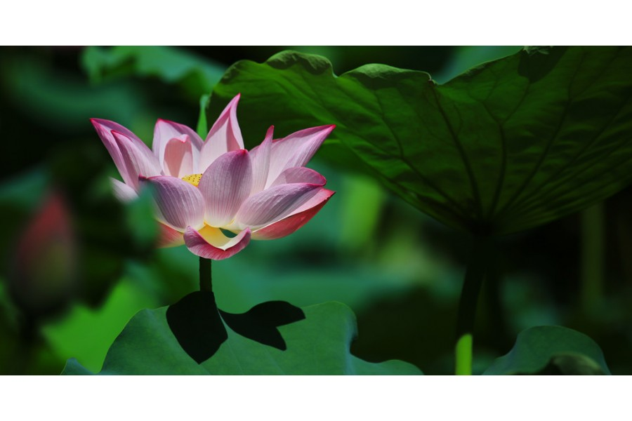 The beautiful lotus